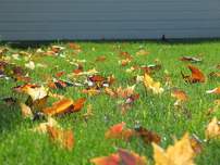 Leaves on lawn Caraig's Lawn Care Duncan Oklahoma